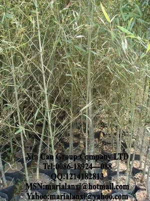 Ficus, cycas, rhapis, adenium, pinus, carmona, nolina ...