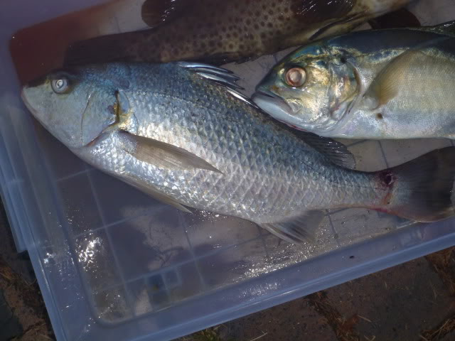 Seafood (Fish) For Sale (Frozen Fish, Fresh Fish, Dried Fish) , Buy