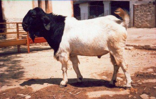 Goat farming, Buy from Ajaputra Livestock And Farms  India