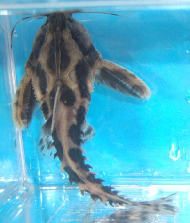 Life Tropical Fish, Buy from Marlin Aquarindo  Indonesia