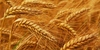 Our company supplies to Iran wheat and feed barley