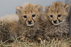 Healthy Cheetah Cubs, Lion Cubs, Tiger Cubs For Sale