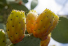 PRICKLY PEAR SEED OIL 100% PURE