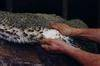 AustralianDrum Salted Sheep Skins