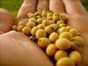 Maize -Soybean
