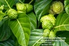Noni Powder From Vietnam With Competitive Price