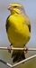 Yellow Fronted Canary (Serinus mozambicus)