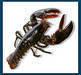Live European Lobster