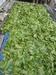 Kratom Highest Grade Lowest Price Mitragyna Speciosa Borneo