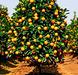 Fresh Fruits, Valencia Orange