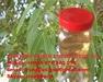 Vietnam Virgin Eucalyptus Oil