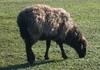 LIVE SHEEP from Moldova
