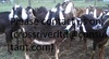 Certified Halal Live Beef, Cattle & Sheep for sale