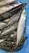 Bait Pacific Mackerel