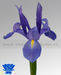 Bulbs from Holland, lilium - gladiols - tulip - irisses and more.