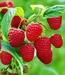 Raspberry/Malina