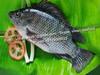 Frozen Tilapia / Catfish / Pomfret / Pacu