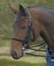 English Hunter Horse and Pony Bridles