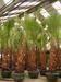 'California Fan Palm' Washingtonia filifera
