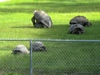 Aldabra, Sulcata, Radiated and other Tortoises for sale