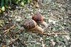 We offer snails from the type Helix Aspersa Maxima (Gros-Gris)