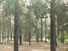 Caribbean pine farm