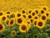 Sell CRUDE / REFINED SUNFLOWER OIL