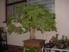 Monkey Thorn Bonsai