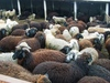 Live Sheep, Lamb, Cattle