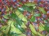 Ornamental landcrab also called Rainbow crab - Cardisoma armatum.