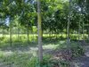 Rubber plantation for sale