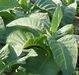 Raw Tobacco, Tobacco Leaf, Tobacco