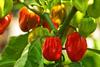 Hot pepper - habanero and scotch bonnet