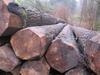 Belgium FSC Poplar Logs