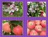 Fresh Red Fuji Apple----$15.45/ctn