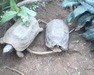 Tortoise (Kinexys Spekii)