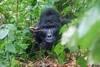 Uganda Gorilla Trek - 3 days