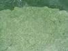 IQF basil leaf