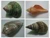 Seashells and land hermit crabs