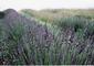 Opg kolo: Seller of: lavender oil, lavandin oil, lavender flower, dried lavender, lavender hidrosol.