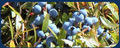 Rainbow Farms: Seller of: blueberries.