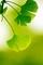 Xuzhou Hengkai Ginkgo Products Co., Ltd: Seller of: ginkgo extract, ginkgo nut, plant extract, ginkgo flavone, ginkgo biloba, usp extract, ginkgo leaf, ginkgo leaf extract, dried ginkgo nut.