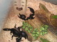 Arachnocenter MidWest: Seller of: tarantulas, scorpions. Buyer of: scorpions, tarantulas.