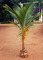 Variety Nursery Farm: Seller of: live trees, live plants, phoenix sylvestris, coconut trees, ornamental plants, horticultural plants. Buyer of: cocos nucifera palm, phoenix sylvestris palm, cocos brooms, ornamental plants, coco peat, coco fiber.