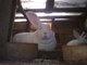 Mubig Rabbit Farm: Seller of: live rabbits, rabbit meat. Buyer of: gikerahotmailcom, gikerahotmailcom.