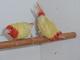 Pierre van Bree: Seller of: birds, lutino red throated erythrura psittacea, birds, red throated parrotfinch.