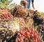 Lobepalmoilplantation: Seller of: palm oil, rbd palm oil, refine oil, biodiesel.