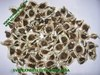 Moringa Seed Suppliers India