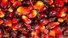 African Palm Kernel Fruit