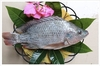 China Frozen Tilapia Fish